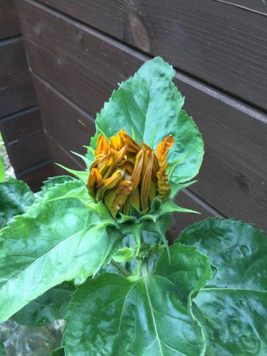 The_first_sunflowers_are_starting_to_open